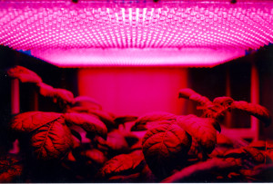 LEDs Can Replace Sunlight For Some Plants Hellam